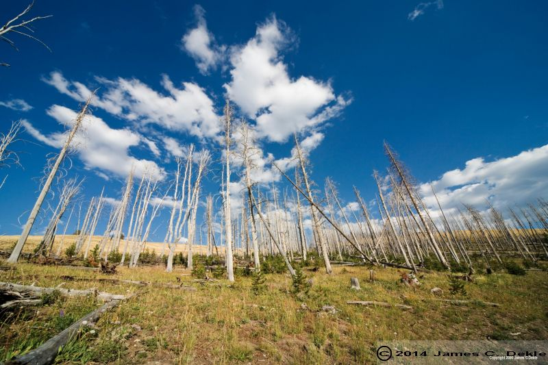 yellowstone np trees killed by 368016907 O